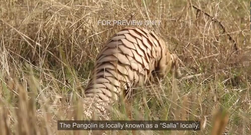 pangolins-in-peril